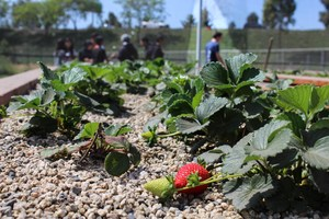 A strawberry grows on the Westminster High farm.