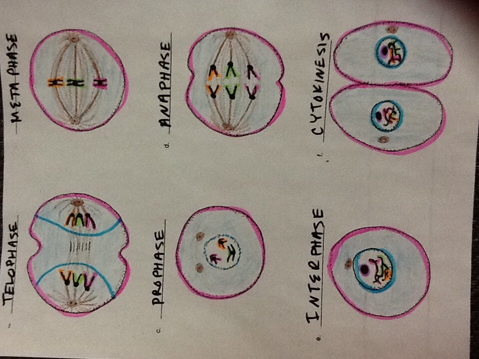 Mitosis flip book answer key success