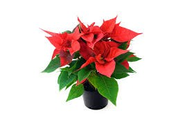 Holiday Poinsettia Pick Up Thumbnail Image