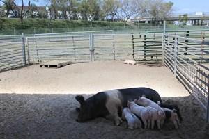 A pig nurses her babies on the Westminster High farm.
