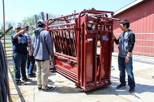 Westminster High students weigh a bull.