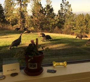 Real turkeys outside of window